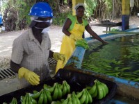Banana cleaning, Dominican Republic